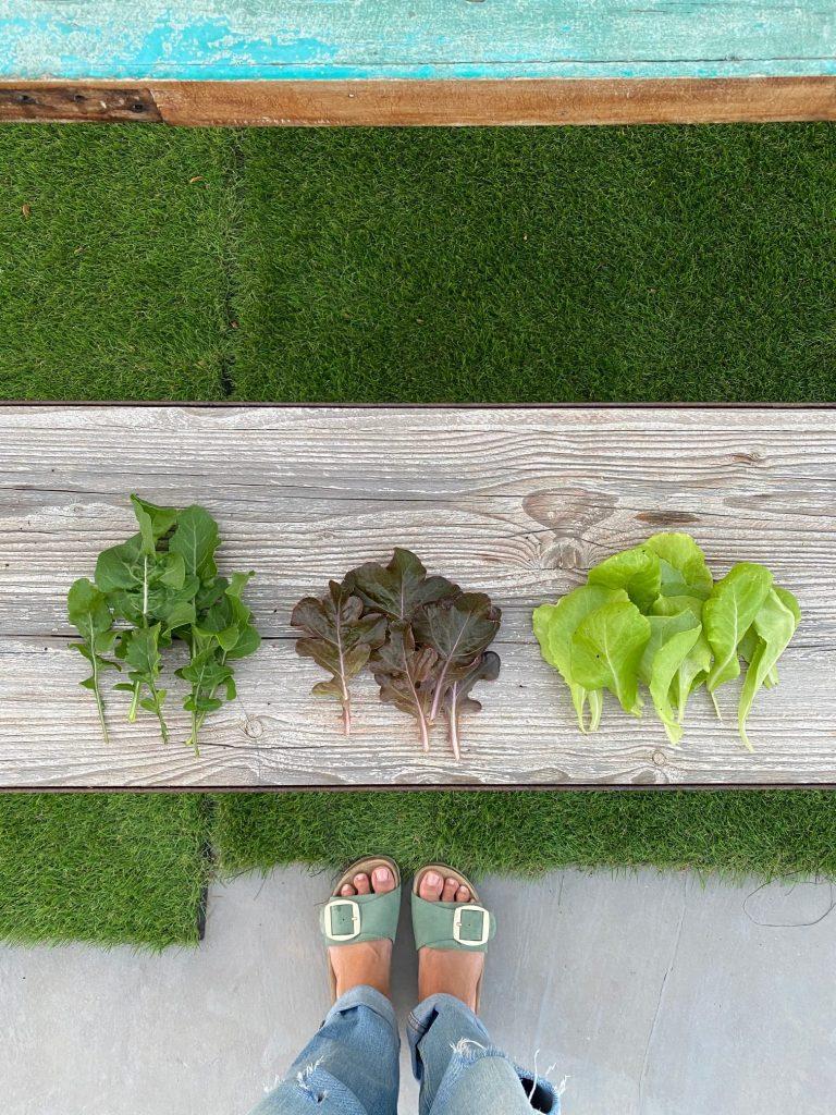 Mi primera cosecha de hojas de lechuga y rúcula