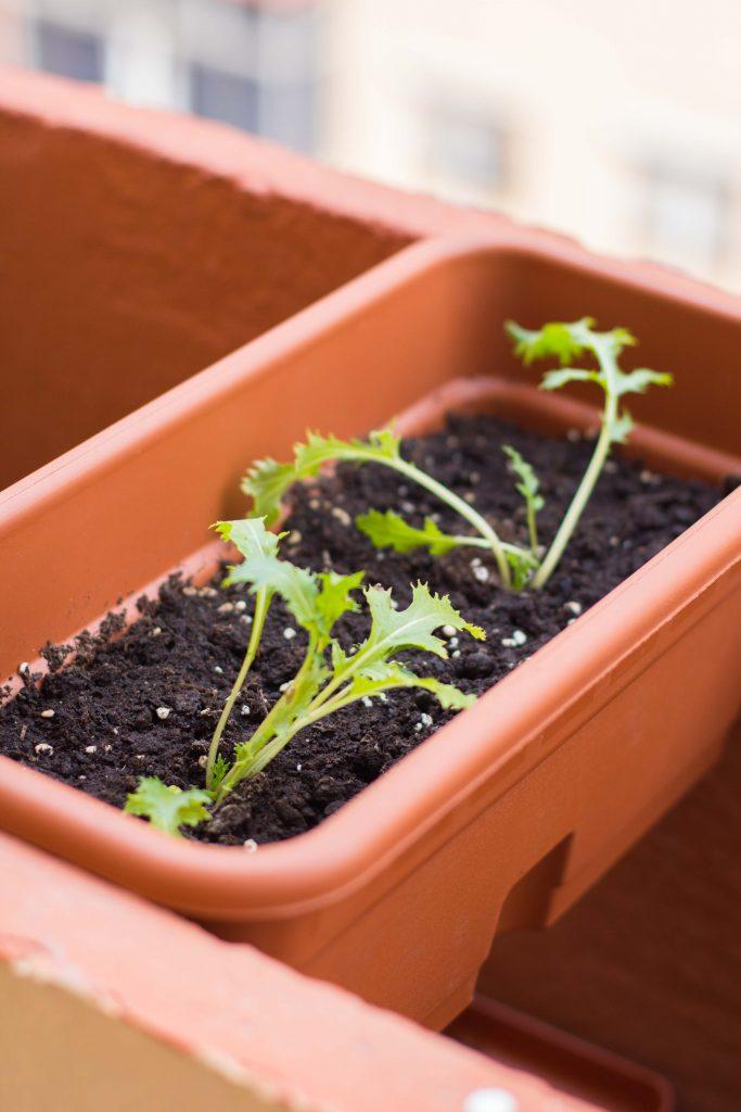 Plantar rucula en maceta