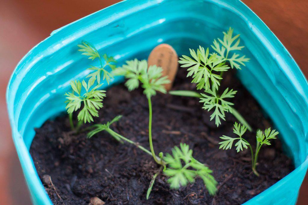 Zanahorias - como empezar un huerto urbano
